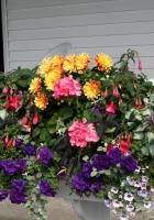 petunia, fuchsia, primrose