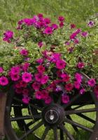 petunia, pots, cart