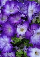 petunia, purple, two-tone
