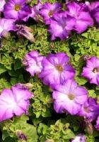petunias, flowers, herbs