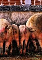 pig, much, food