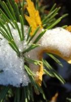 pine, snow, prickles