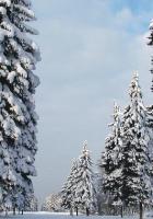 pines, trees, winter