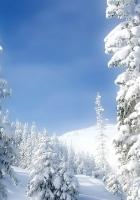 pines, winter, snow