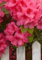 pink, garden, fence