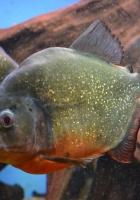 piranha, fishes, predator