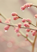 plants, drops, branch