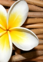 plumeria, flower, close up