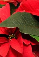 poinsettia, flower, leaf
