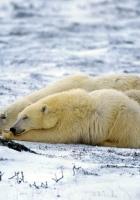 polar bear, couple, sleep