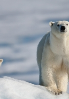 polar bear, cub, walking