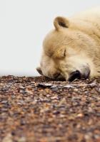 polar bear, down, face