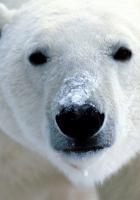 polar bear, eyes, nose