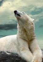 polar bear, lying, fat