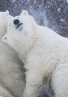 polar bears, snow, winter