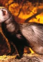 polecat, mongoose, nature