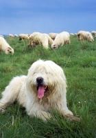polish lowland sheepdog, herd, herder