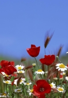 poppies, daisies, spikes