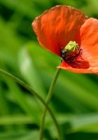 poppy, flower, bright
