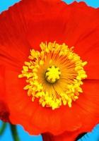 poppy, red, yellow