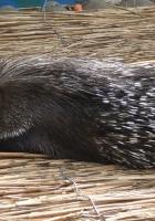 porcupine, lie, rest