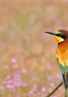 poultry, bee-eater, golden bee-eater