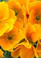primrose, flower, close-up