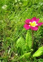 primrose, flower, grass