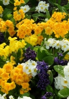primrose, hyacinth, flowers