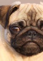 pug, face, eyes