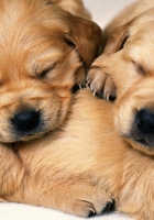 puppies, dogs, pair