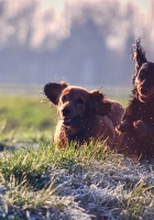puppies, dogs, playing