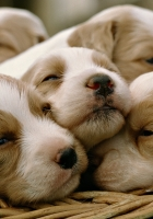 puppies, many, cute