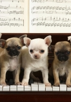 puppies, piano, music