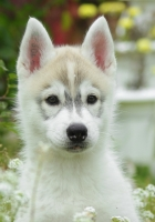 puppy, dog, husky