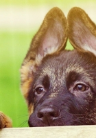 puppy, face, ears