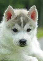 puppy, husky, down