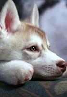 puppy, husky, sadness