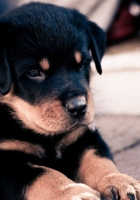 puppy, rottweiler, lie down