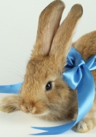 rabbit, bow, neck