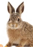 rabbit, carrots, striped