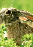 rabbit, grass, face