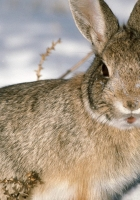 rabbit, hare, snow