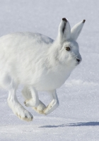 rabbit, snow, jump