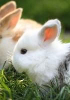 rabbits, couple, grass