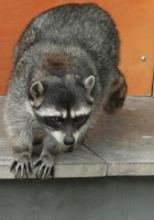 raccoon, climbing, spotted