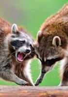 raccoons, couple, fight