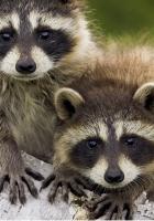 raccoons, couple, timber