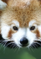 red panda, branch, animal