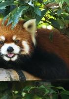 red panda, lie down, tree
